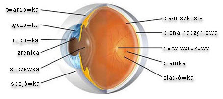 Budowa oka.